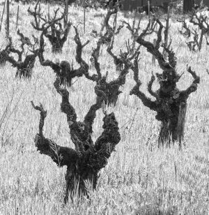 Old Vines - Sonoma, California