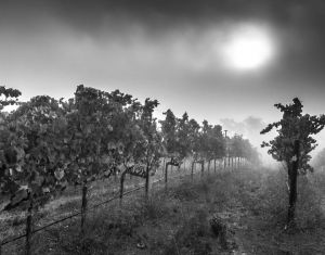 Fog in the Vineyard - Sonoma, California