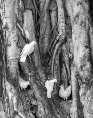 Banyan Birds -  Honolulu, Hawaii	2011