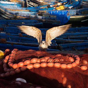 Seagulls, Essouria, Morocco - 2013
