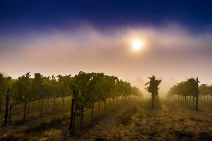 Vines in the Fog, Sonoma, California